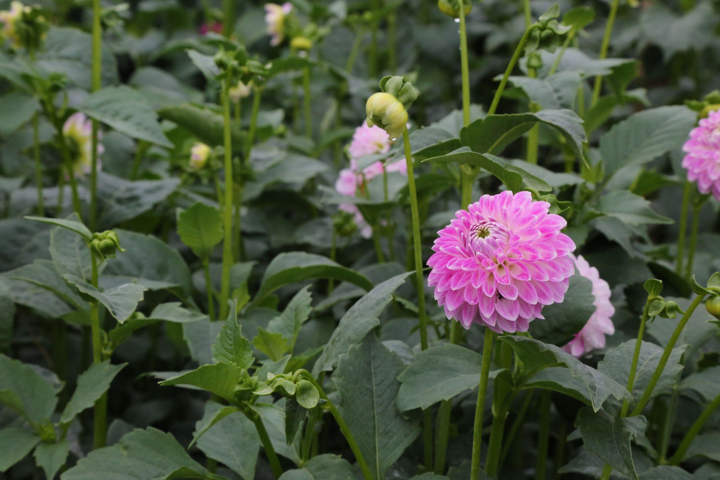 Dahlias Growing in Bloom