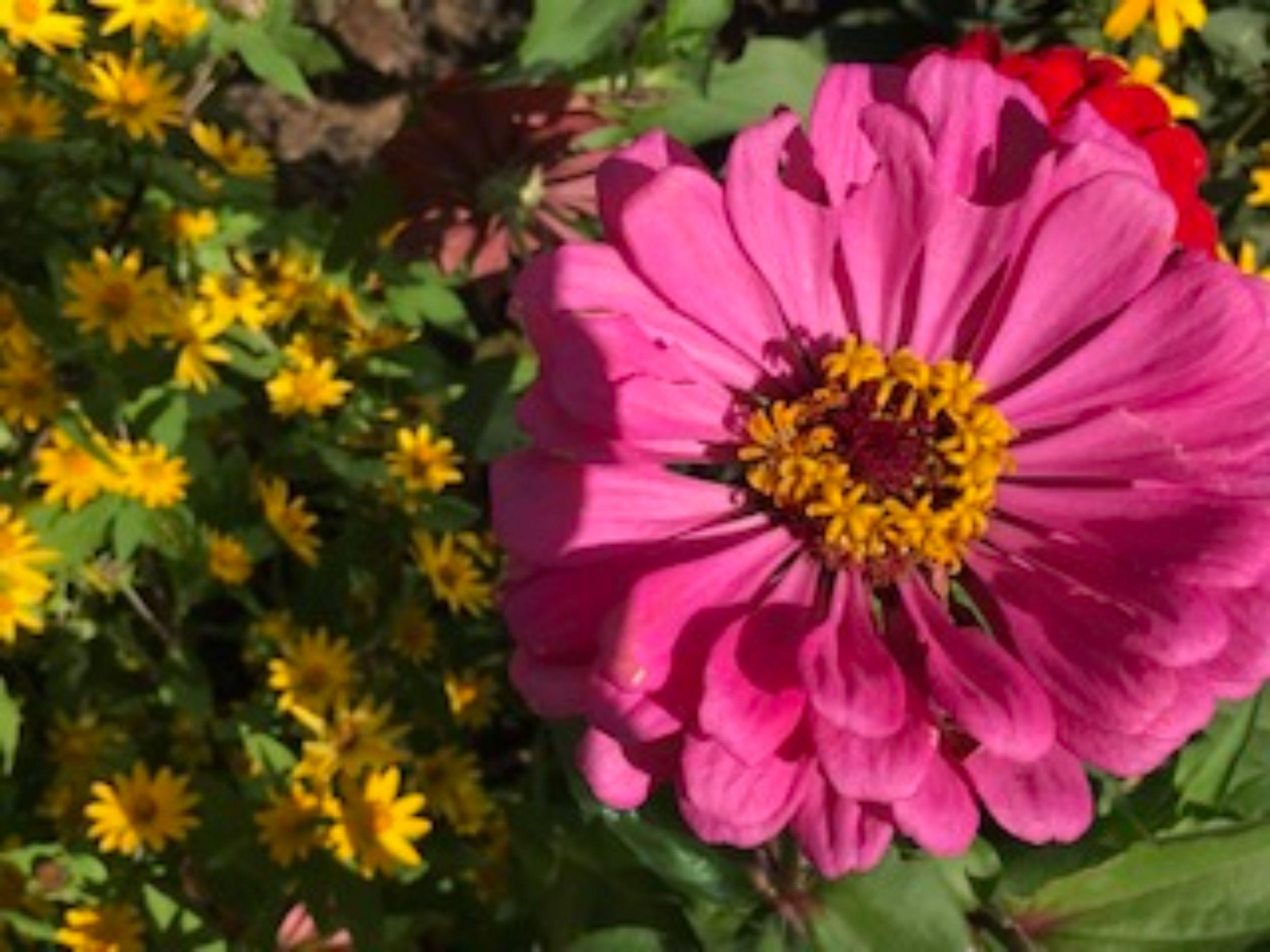 Zinnias in bloom with Bloom;,Waynewood Elementary, Alexandria, VA