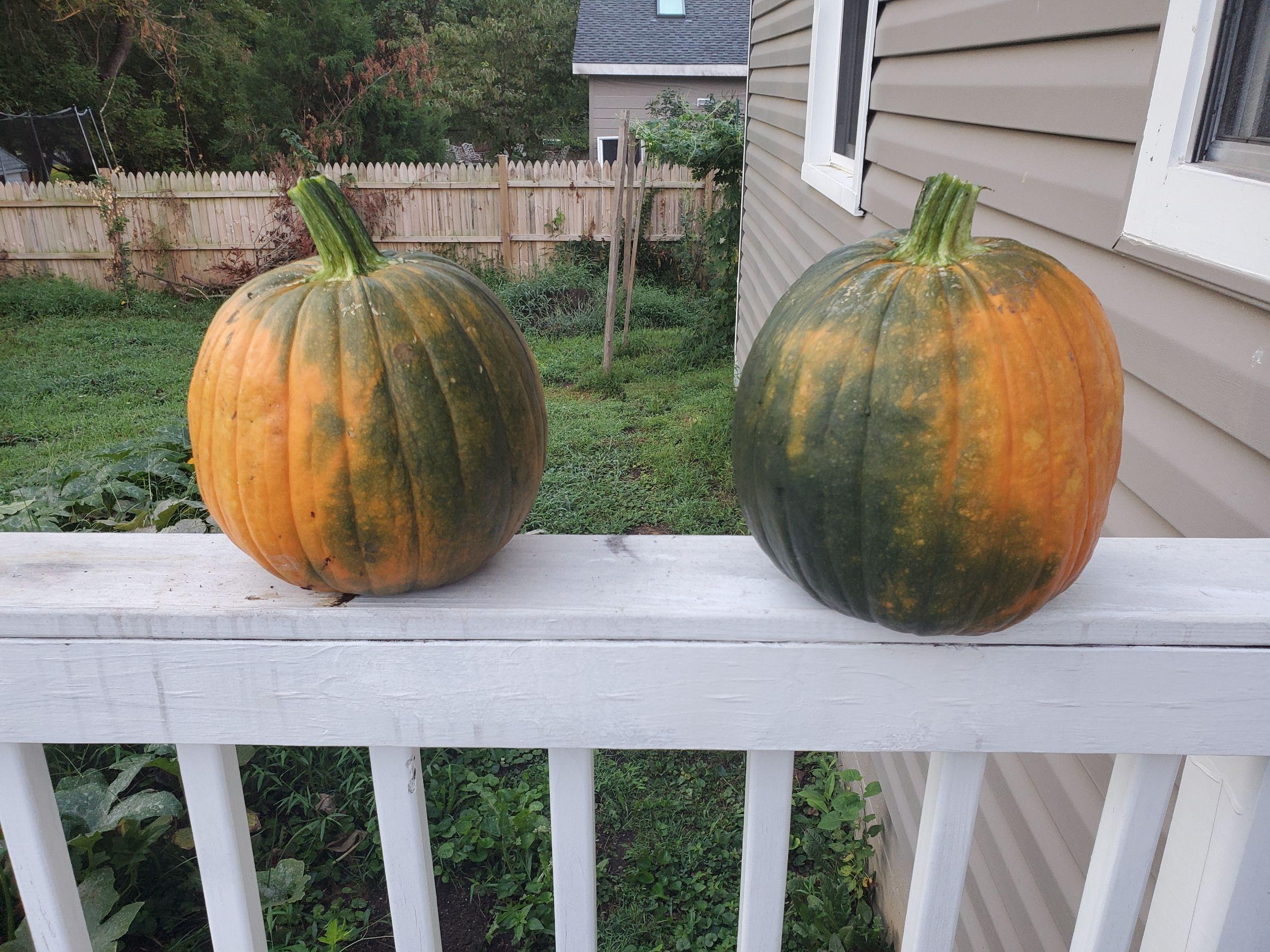 Pumpkins Grown with Bloom