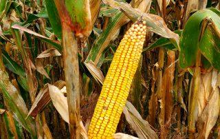Spider Hall Farm's epic corn