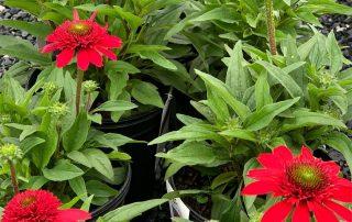 Echinacea at Gambrills Flower Farm