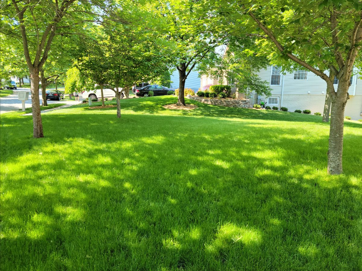 Potomac, Maryland Lawn Greened up with Bloom