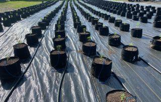 Hemp plants in pots at Fingerboard Farm