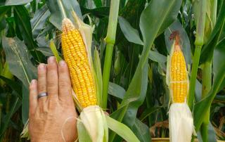 Corn at Vista View Farm